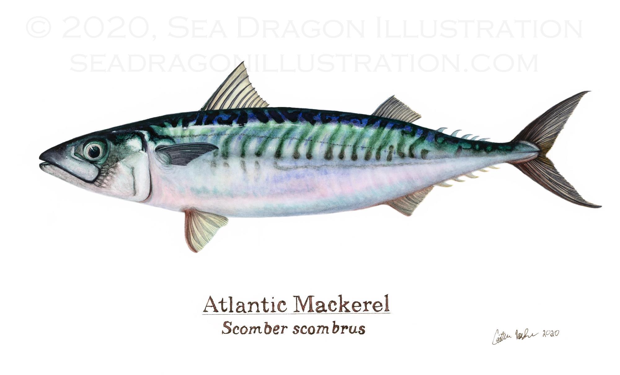 Mackerel, watercolor