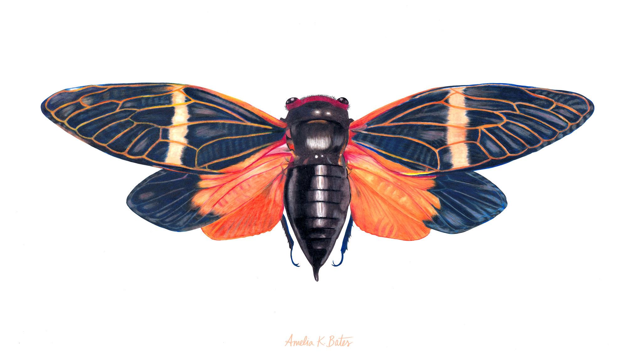 Cicada (Tosena Paviei), colored pencil on duralar film