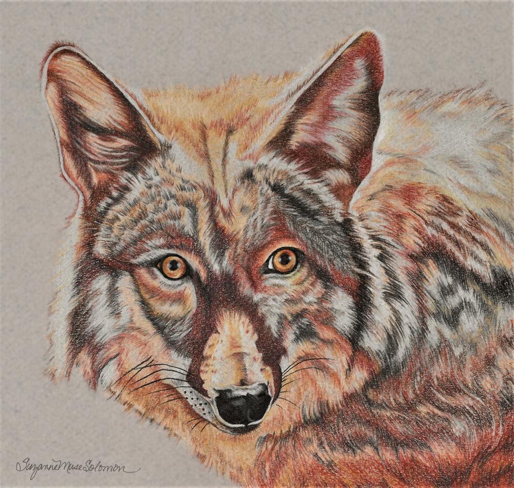 Coyote Colored Pencil