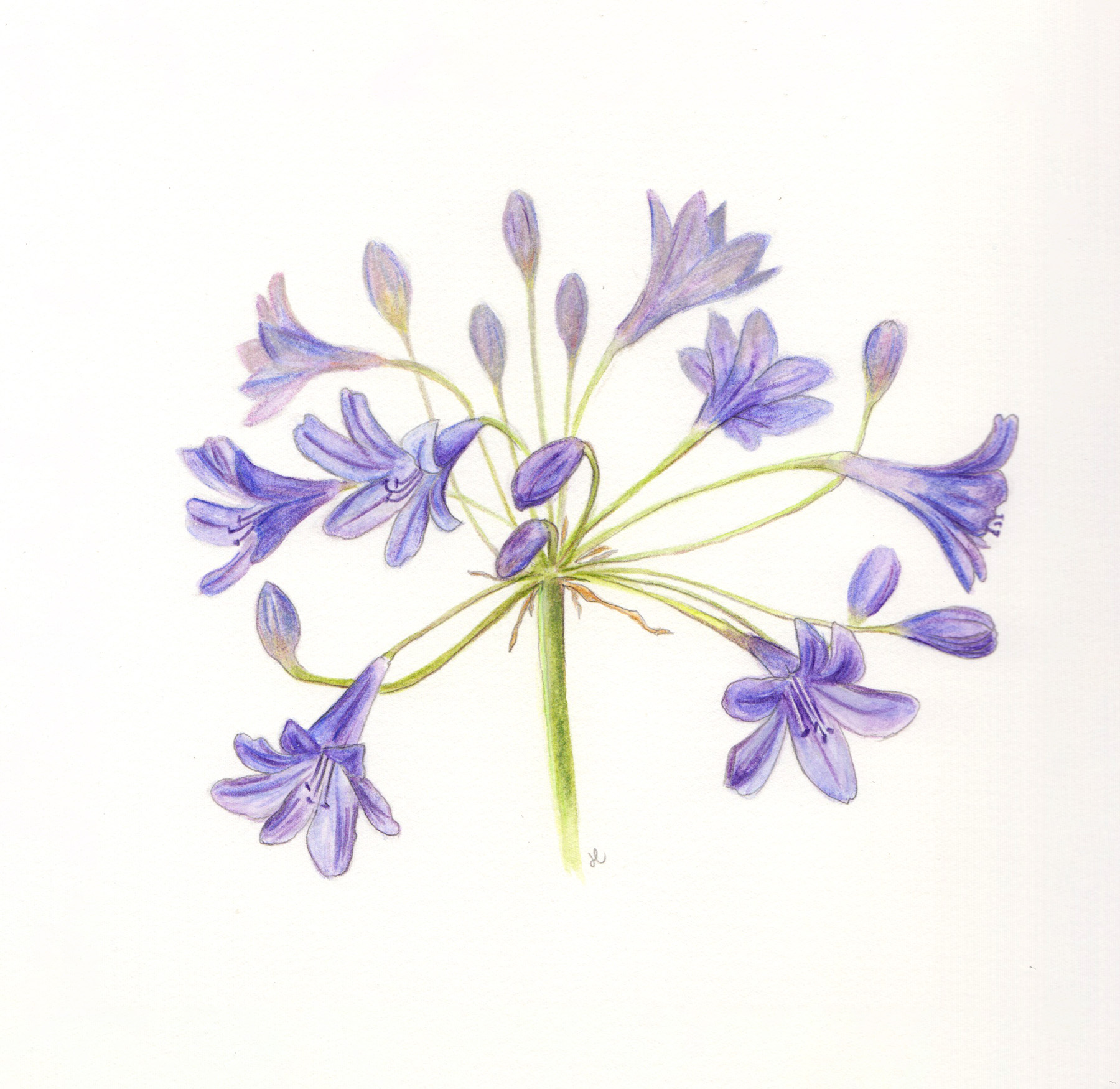 African lily (Agapanthus), watercolor