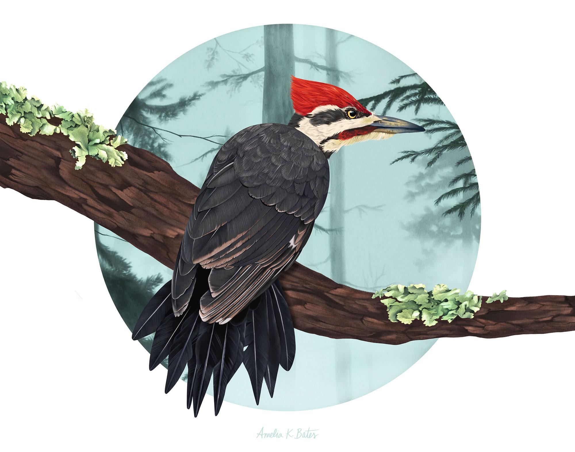 Pileated woodpecker (Dryocopus pileatus), digital illustration in Procreate on iPad Pro