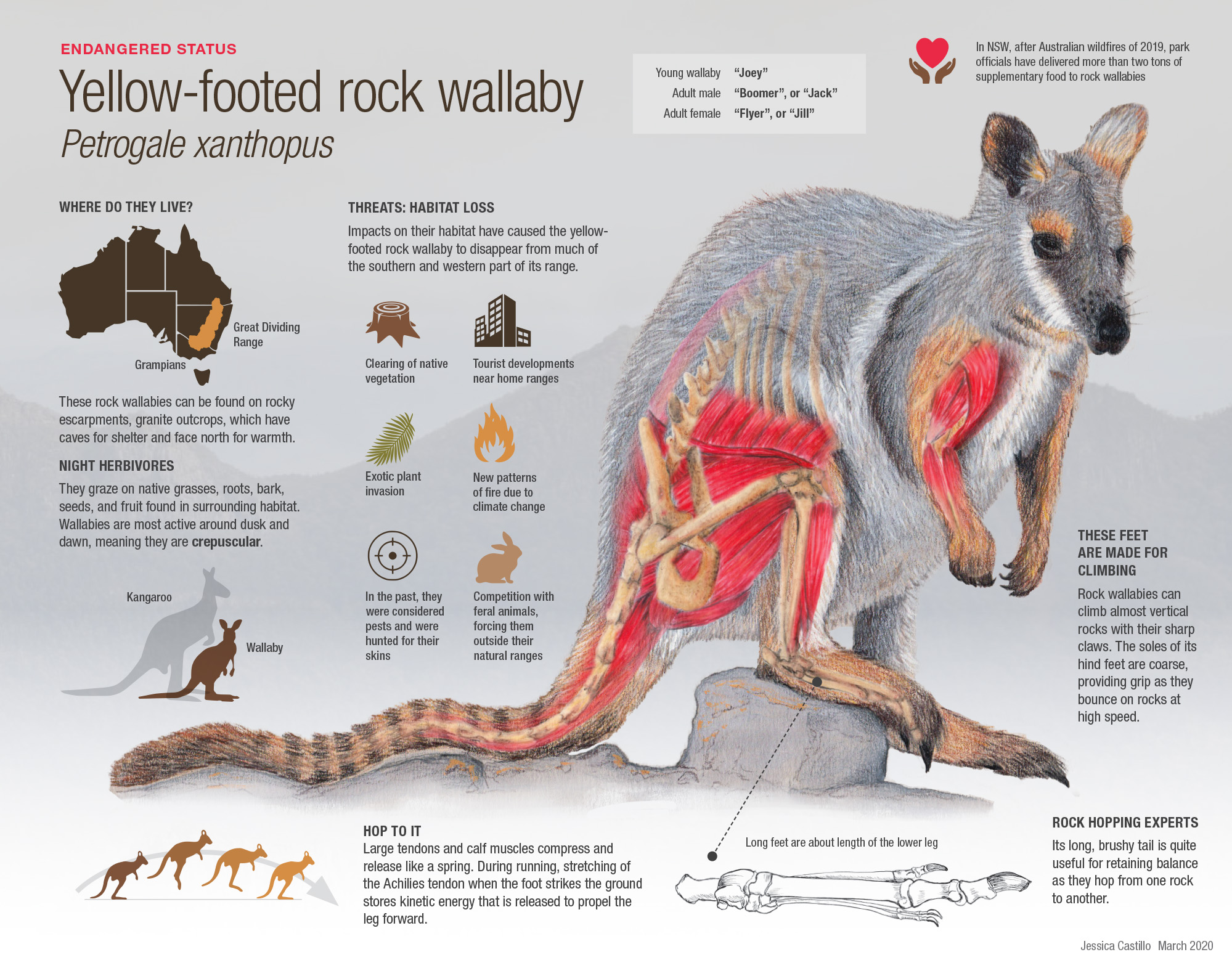 Rock wallaby (Petrogale xanthopus) poster, illustrations in colored pencil