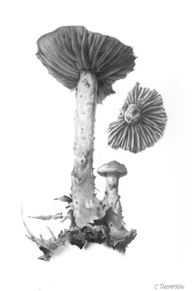 gymnopus peronatus