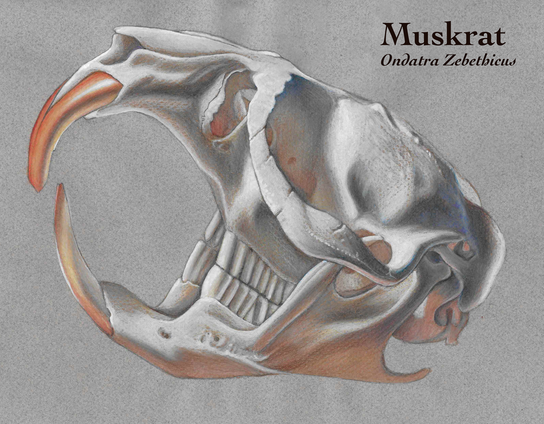 Muskrat skull