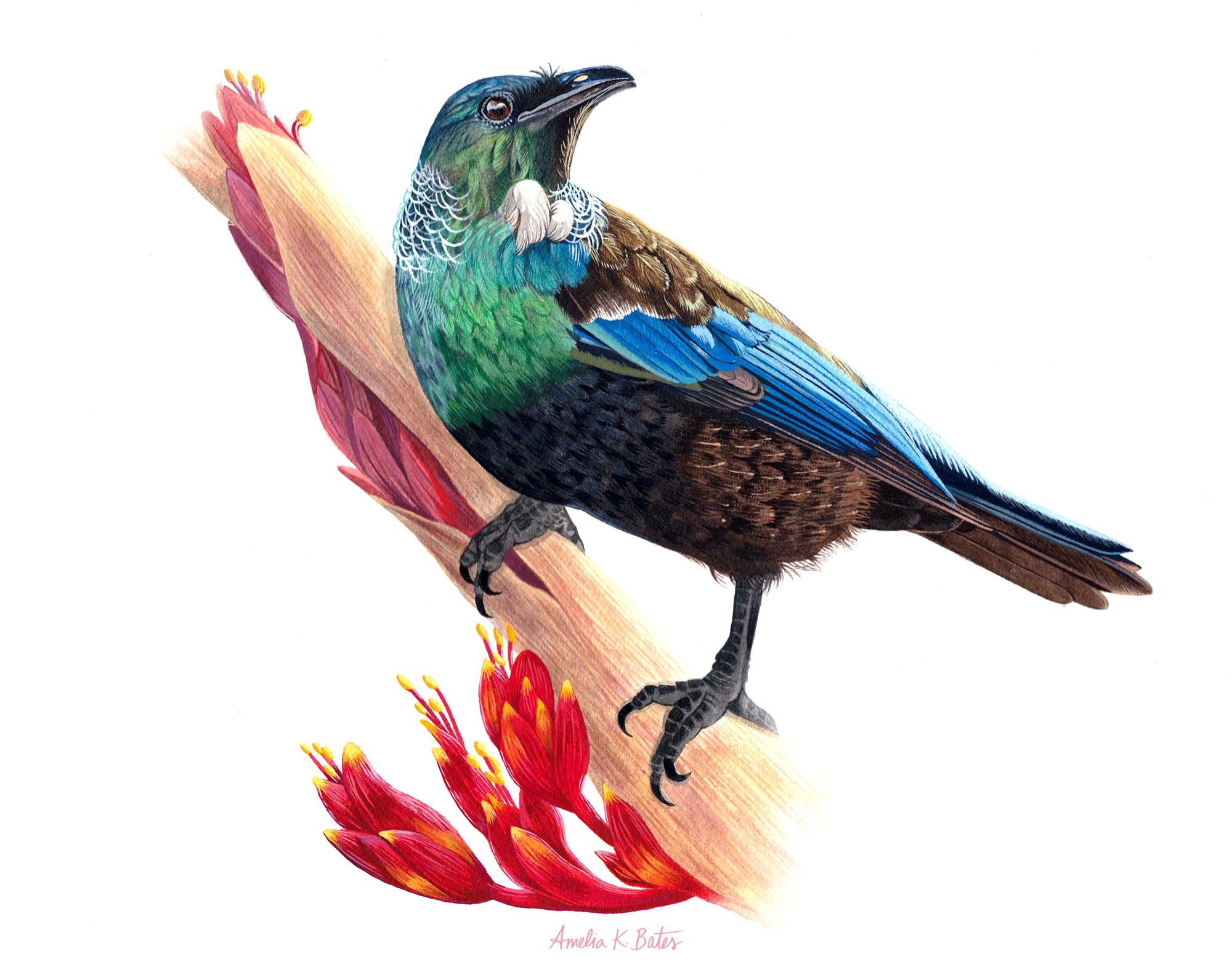 Tui (Prosthemadera novaeseelandiae), watercolor and gouache on Arches cold press watercolor paper